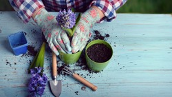 Gardeners hand planting flowers in pot with dirt or soil.