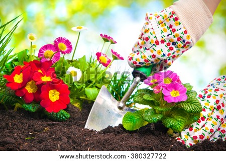 Gardeners hands planting flowers at back yard #380327722