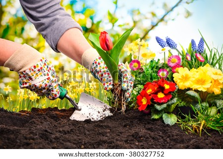 Gardeners hands planting flowers at back yard