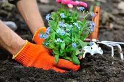Gardeners hands planting flowers Forget-me-not in garden