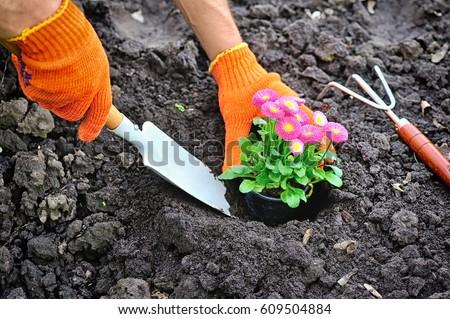 Gardeners hands planting marguerite flowers in garden #609504884