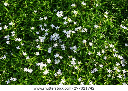 Gardenia. Cape Jasmine with green leaves wall background. Small white flowers and green leaves garden top view . Gardenia fields.