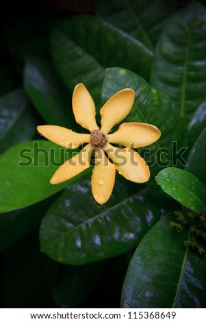 gardenia carinata wallich flower with fresh water dew