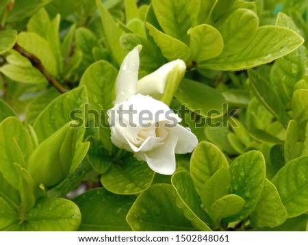Gardenia flower is a shrub about 1-2 meters high, branching very branches. Stems slender, conical, lanceolate, lanceolate, and lanceolate. The leaves are rounded green. Single white flowers.