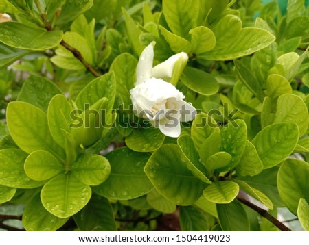 Gardenia flower  is a shrub about 1-2 meters high, branching very branches. Stems slender, conical, lanceolate, lanceolate, and lanceolate. The leaves are rounded green. Single white flowers axillary
