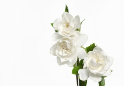 Gardenia flowers-white background