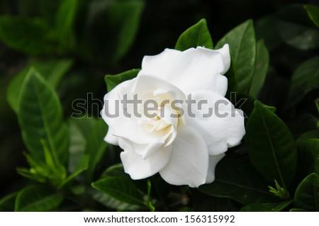 Gardenia jasminoides (Cape jasmine) foliage and flower
