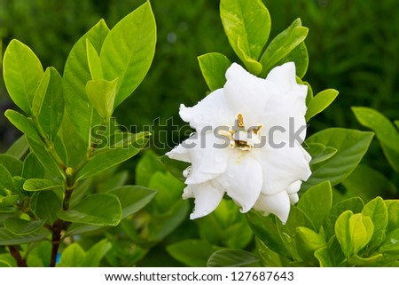 Gardenia jasminoides flower