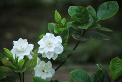 Gardenia jasminoides J.Ellis, the gardenia, cape jasmine, cape jessamine, danh-danh, or jasmin, is an evergreen flowering plant. This white summer white flower has highly attractive scent.