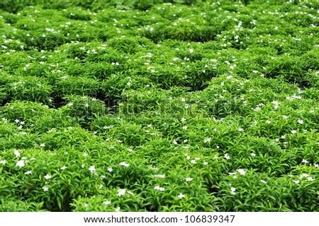 Gardenias in a flower garden