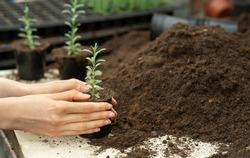 Gardening and greenhouse business, flower nursery and seedlings in orangery. Female hands plant young plants in pots, near a lot of heap of soil in orangery, cropped, close up, free space