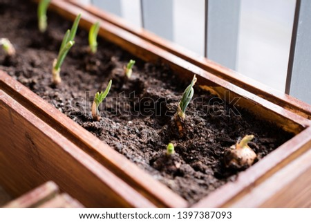 gardening and horticulture. growing green onions in a box on a terrace in the city. #1397387093