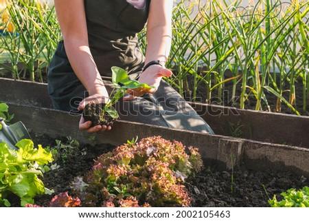 Gardening at home garden. Girl transplanting green plants in the home garden. Transplanting plants in the vegetable garden with her son. Home gardening, garden room, gardening, plant room. Slow life.