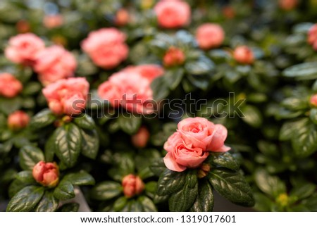 gardening, botany and flora concept - beautiful pink flowers at garden #1319017601