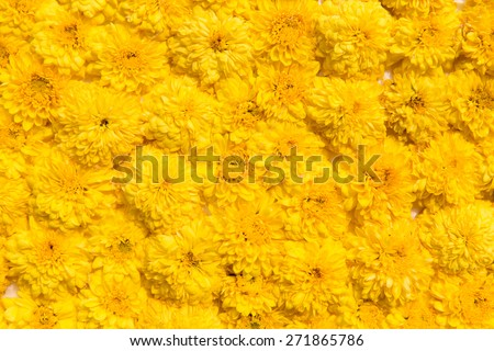 gardening, botany, texture and flora concept - beautiful chrysanthemums flowers