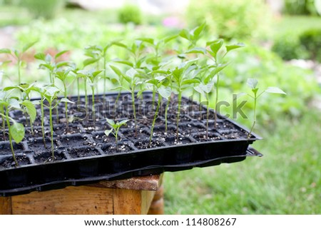 Gardening concept - seedlings in the garden
