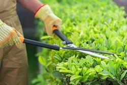 Gardening cutting gardener bush garden utensils using a hedge trimmer