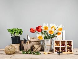Gardening farming. Seedlings basil and onion with bunch spring flower in bucket with garden tool at gray background and wooden table.