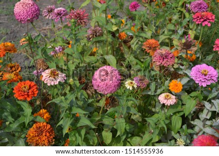 Gardening. Flower Zinnia. Home garden, flower bed. House. Zinnia, a genus of annual and perennial grasses and dwarf shrubs of the Asteraceae family. Multicolored flowers