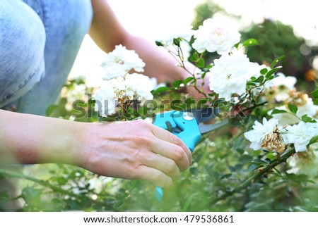 Gardening. Gardener pruning shears cut shrubs roses #479536861