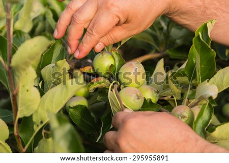 Gardening. Growing apple trees, the gardener takes care of the apple trees. Farming.