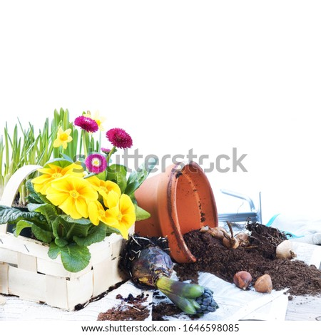 Gardening in spring with spring flowers and garden tools, isolated
