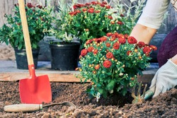 Gardening in summer. Female hands in protective gloves planting a bush of a red chrysanthemum in the garden in summer evening. Toned image
