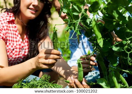Gardening in summer - woman harvesting peas and nibbles from the bush
