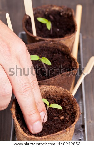Gardening: Man separating seedlings into planting pots