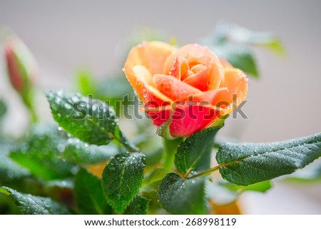 gardening, planting, floristics and flora concept - close up of rose flower #268998119