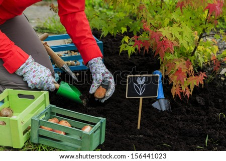 Gardening, planting, flowers bulbs - woman  planting tulip bulbs
