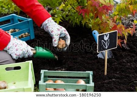 Gardening, planting, flowers bulbs - woman planting tulip bulbs #180196250