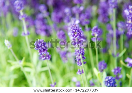 Gardening planting plants and botany. Floral shop. Growing lavender. Close up bushes of beautiful lavender. Aromatic flowers concept. Provence style. Lavender tender violet flowers. Lavender field. #1472297339