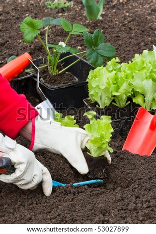 gardening, planting salad seedlings