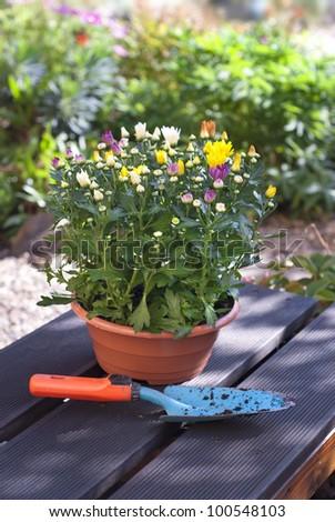 Gardening - potting a Chrysanthemum