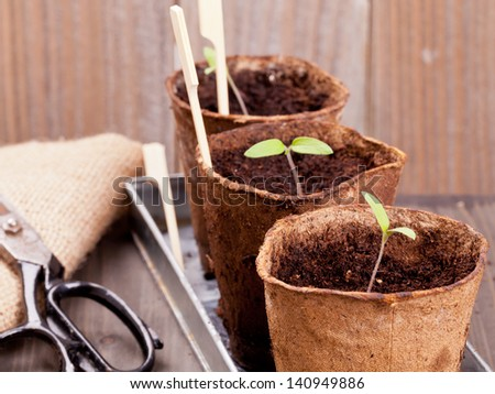 Gardening: Separated seedlings in planting pots on wooden table