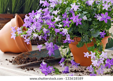 Gardening still life of tiny 'campanula get mee' (or bellflowers) in clay starter pots with spade of potting soil.  Closeup with shallow dof. #133618589