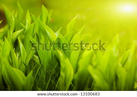 Gardens grass with the lilies of the valley, sunny morning (shallow dof)