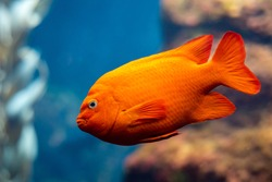 Garibaldi fish (Hypsypops rubicundus), a bright orange type of damselfish, are the official marine fish of California and are protected in the local waters. The are numerous on Santa Catalina Island.