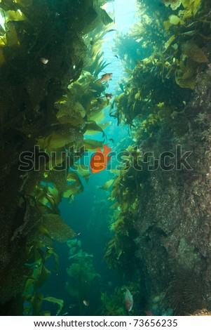 Garibaldi_in_Kelp_Forest_Bird_Rock_Catalina_Island