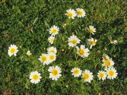 Garland chrysanthemum or Glebionis coronaria blossoms. White daisy like marguerite flowers with yellow center. Chrysanthemum coronarium is leaf vegetable flowering plant in the daisy family Asteraceae