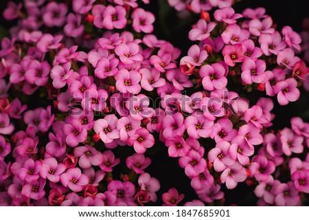 Garland flower or Rose Daphne close up. Background. ストックフォト ©