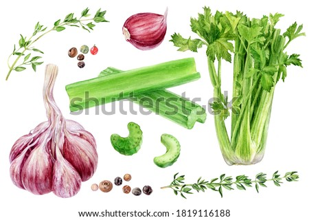 Garlic celery thyme peppercorns set watercolor painting isolated on white background