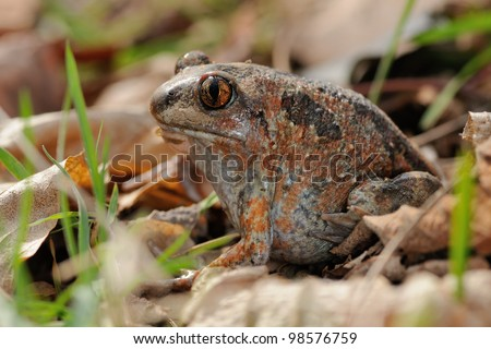 Garlic frog (Pelobates fuscus) - document portrait
