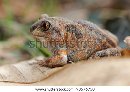 Garlic frog  (Pelobates fuscus) - shaded portrait