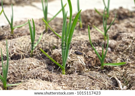 Garlic grows on a bed in even rows, the plants are covered with mulch from dry grass. Growing vegetables with organic farming. #1015117423