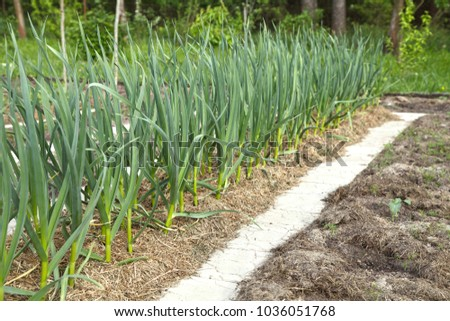 Garlic grows on a bed under mulch from dry grass. Growing spices in the organic oak for vegetarian food. #1036051768