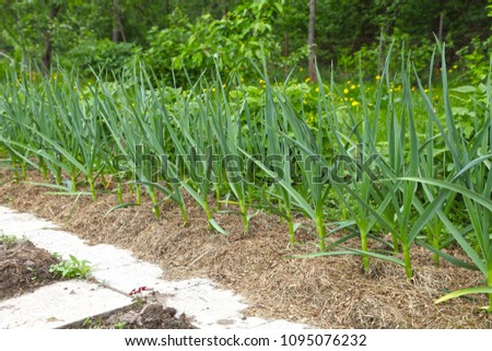 Garlic grows on a bed under mulch from dry grass. Growing spices in the organic oak for vegetarian food. #1095076232