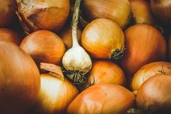 Garlic on a bunch of onions