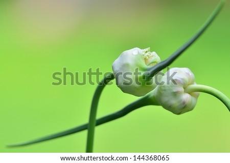 garlic seed - stock photo